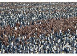 南乔治亚州和南桑威奇群岛,动物,企鹅549656