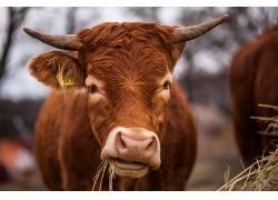 吃,牛,动物,牛角602873