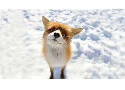 狐狸,动物,雪499342