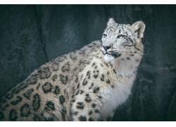 大猫,动物,雪豹458807