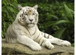 虎,动物,性质,白老虎382212