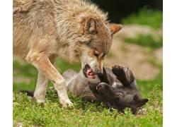 性质,狼,狗,野生动物436086