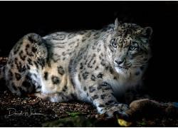 大猫,哺乳动物,动物,雪豹583126