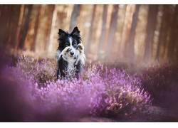 性质,紫色,植物,动物,狗552406