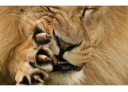 大猫,爪,狮子,动物550509