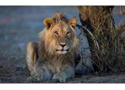 大猫,狮子,动物461787
