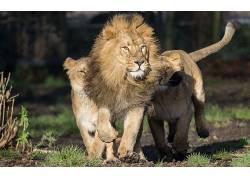 大猫,狮子,动物465843