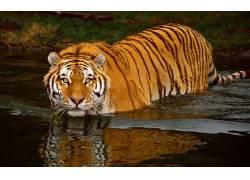 虎,动物,野生动物383523