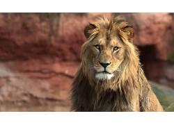 大猫,狮子,动物560676