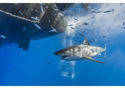 性质,船,海,鱼,动物,水下,鲨鱼,笼子538364
