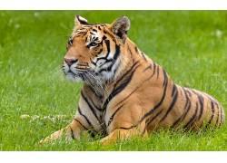 大猫,虎,动物460670