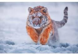 虎,动物,雪,性质,冷,景深619176