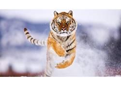 虎,动物,雪,跳跃378721