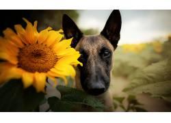 向日葵,花卉,狗,动物674895