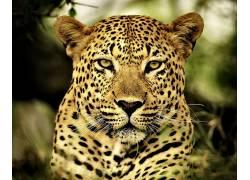 高清狮子,On?a Pintada,动物,大猫499034