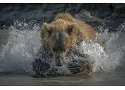 熊,性质,动物,水,水溅,水滴634820