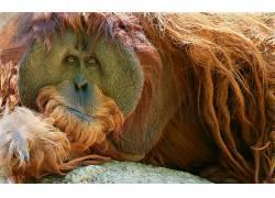 哺乳动物,动物,类人猿,猩猩439651