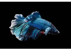 鱼,动物,水下,黑色,野生动物,战斗Beta689731