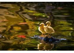 性质,水,小动物,鸭,动物577661