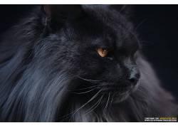 猫,动物,挪威猫670771