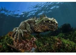 性质,水,海,水下,珊瑚,动物,两栖动物,鬣蜥,达米安・莫里奇486743