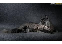 猫,动物,挪威猫670773