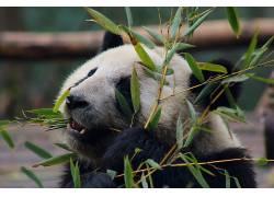 熊猫,动物,树叶,动物园555440
