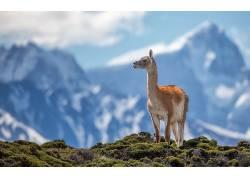 喇嘛,动物,山,性质416089