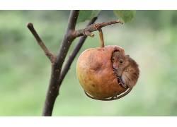 苹果,老鼠,性质,动物552900