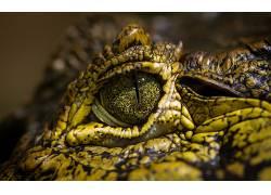 鳄鱼,爬行动物,眼睛,动物501213