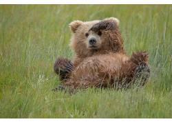 草,性质,熊,动物632057