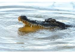 爬行动物,短吻鳄,动物398503