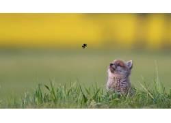 草,昆虫,动物,小动物,狐狸620611