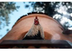 鸟类,公鸡,动物413536