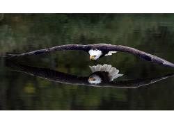 鸟类,动物,bird鸟,白头鹰,鹰455828