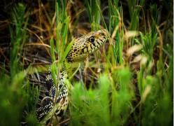 草,蛇,爬行动物,动物,伪装,宏376838