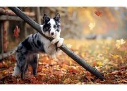 在户外,动物,狗,树叶,秋季500306