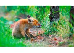 性质,狐狸,动物,哺乳动物579540