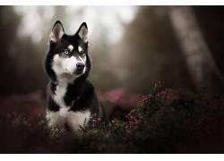 萨哈林赫斯基,异色,动物,狗,性质620963