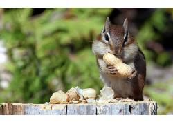 坚果,吃,绿色,哺乳动物,松鼠,餐饮,动物570355