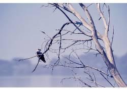 鸟类,动物,树木,性质,鱼鹰562246