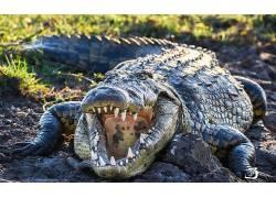 牙,鳄鱼,动物569044
