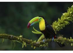 鸟类,动物,植物,巨嘴鸟,苔藓,科455837