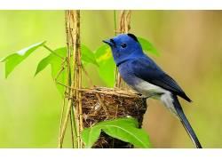鸟类,动物,植物,蓝色,巢,羽毛378321