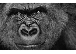 大猩猩,动物,单色,面对488241