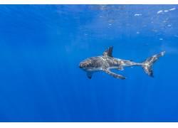 蓝色,水下,鲨鱼,动物562478