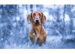 蓝色,狗,动物591800