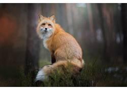 狐狸,动物,性质,野生动物494580