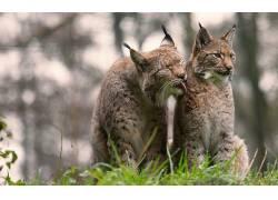 大猫,动物,性质,猞猁623064