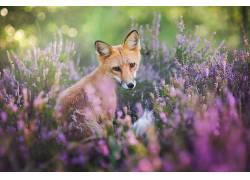 狐狸,动物,性质,野生动物494581